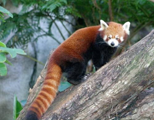 Red_Panda_2